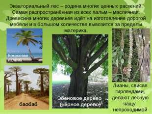Экваториальный лес – родина многих ценных растений. Самая распространённая из