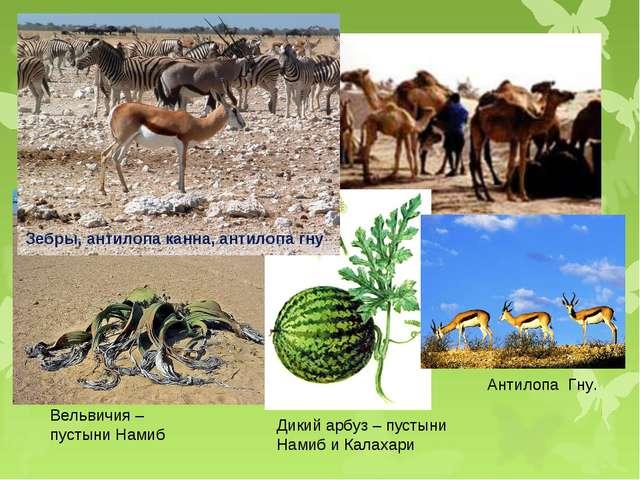 Вельвичия – пустыни Намиб Дикий арбуз – пустыни Намиб и Калахари Антилопа Гну...