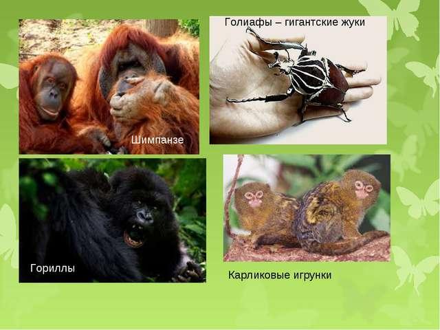 Голиафы – гигантские жуки Гориллы Гориллы Шимпанзе Карликовые игрунки