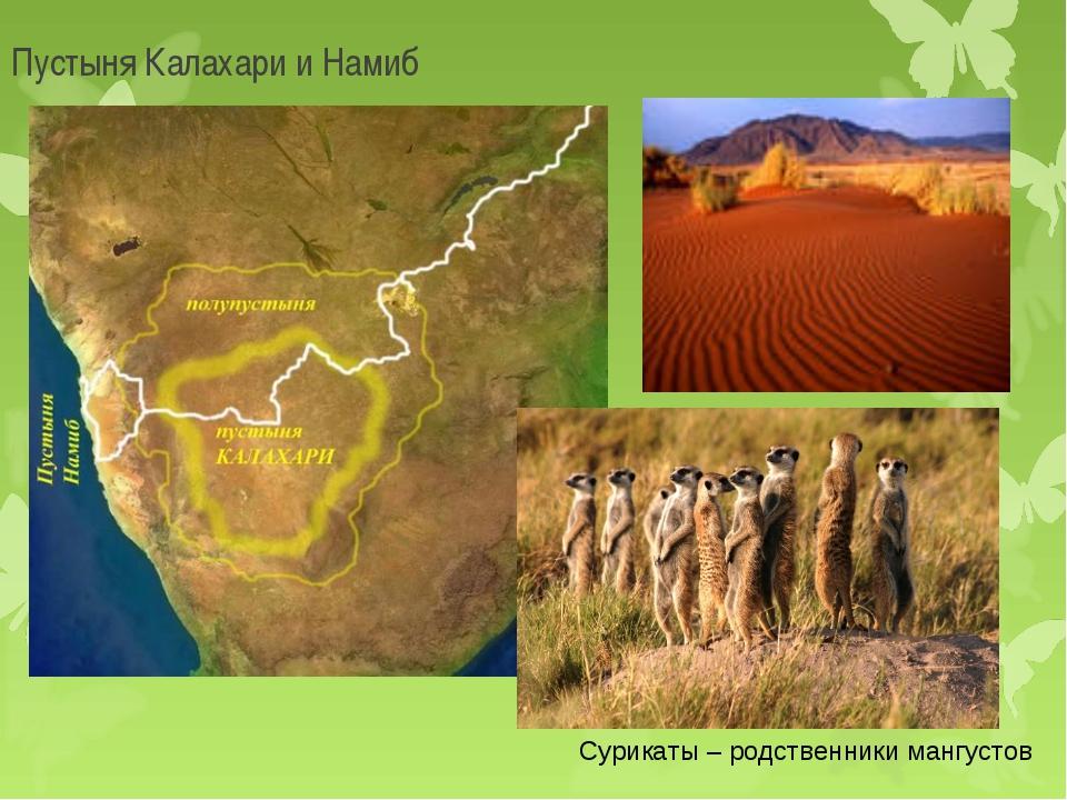 Пустыня Калахари и Намиб Сурикаты – родственники мангустов
