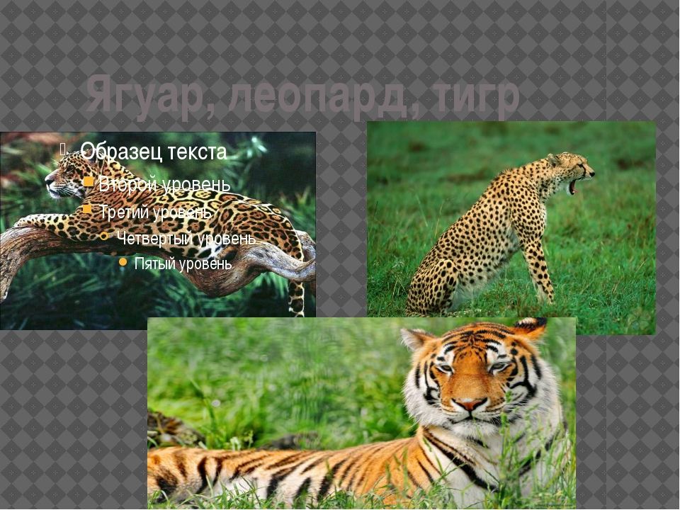 Ягуар, леопард, тигр