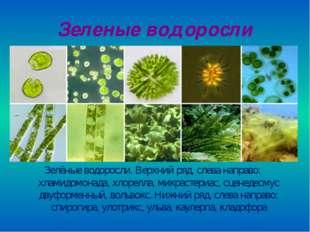 Зеленые водоросли Зелёные водоросли. Верхний ряд, слева направо: хламидомонад