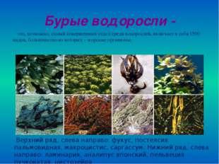 Бурые водоросли - это, возможно, самый совершенный отдел среди водорослей, вк