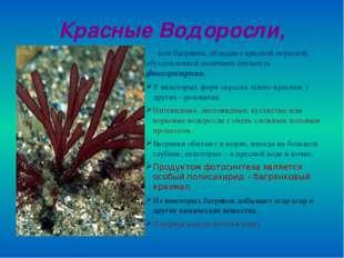 Красные Водоросли, или багрянки, обладают красной окраской, обусловленной нал