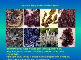 Красных водорослей около 4000 видов. Верхний ряд, слева направо: ирландский