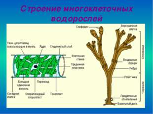 Строение многоклеточных водорослей