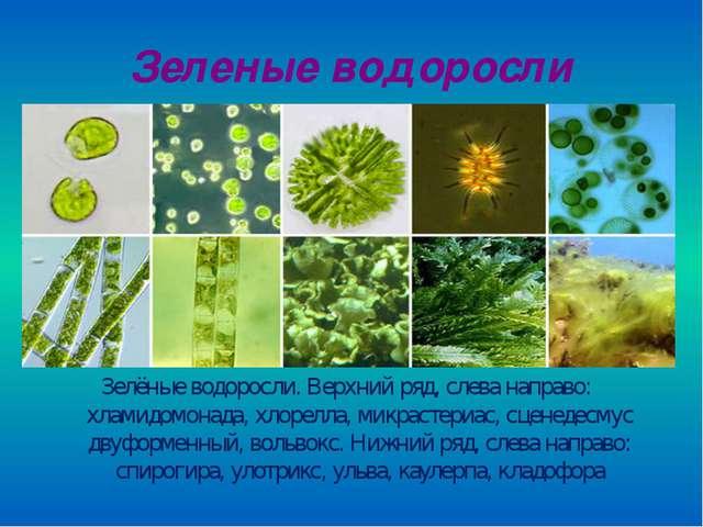 Зеленые водоросли Зелёные водоросли. Верхний ряд, слева направо: хламидомонад...