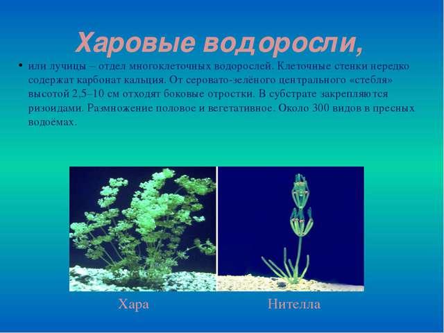 Харовые водоросли, или лучицы – отдел многоклеточных водорослей. Клеточные ст...