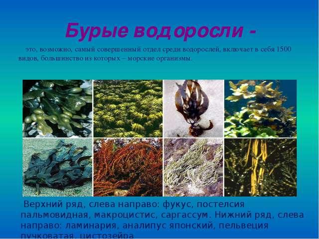 Бурые водоросли - это, возможно, самый совершенный отдел среди водорослей, вк...
