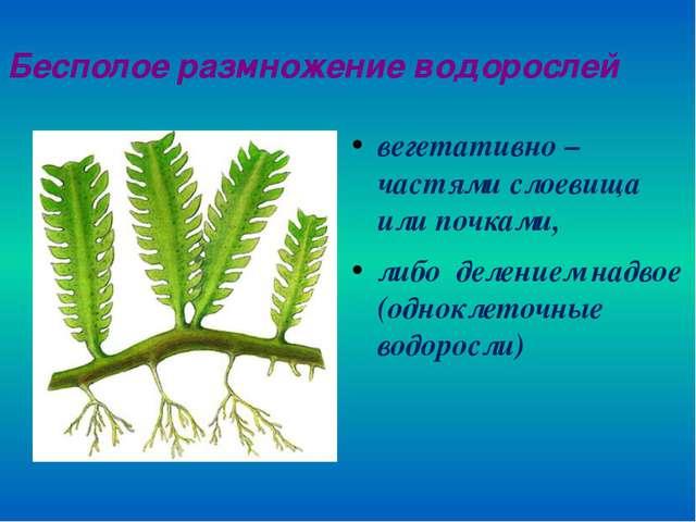 Бесполое размножение водорослей вегетативно – частями слоевища или почками, л...