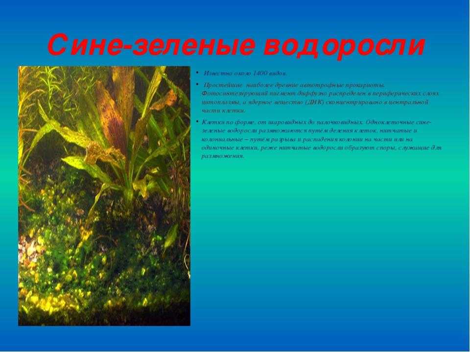 Сине-зеленые водоросли Известно около 1400 видов. Простейшие наиболее древние...