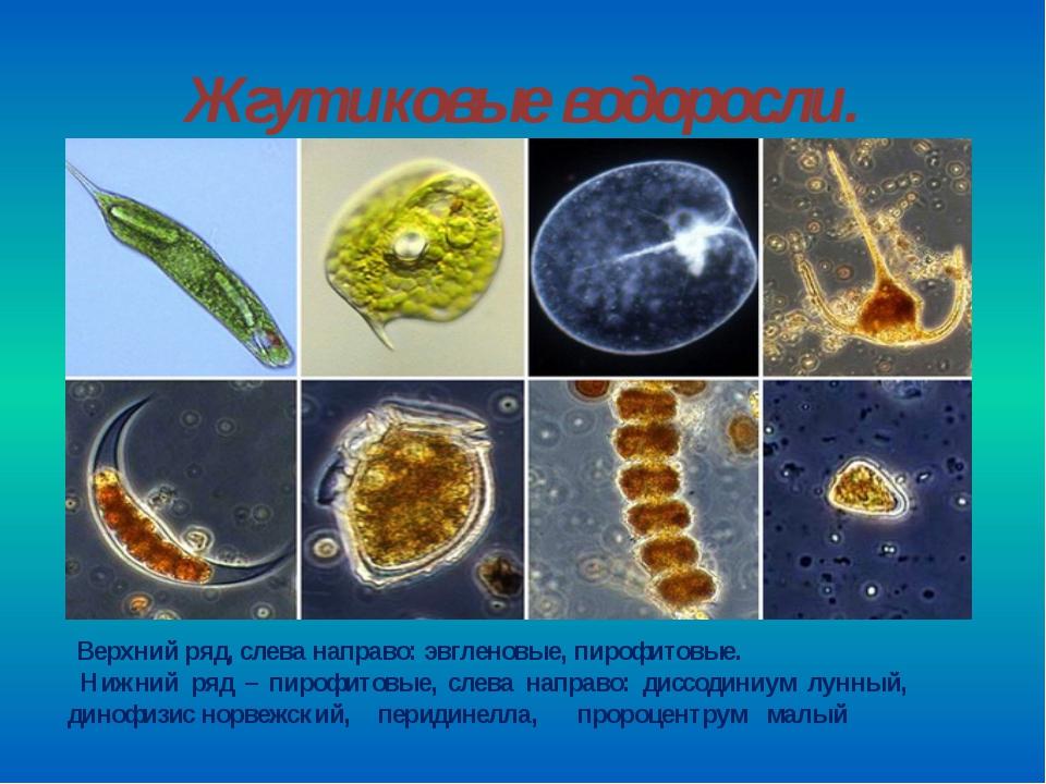 Жгутиковые водоросли. Верхний ряд, слева направо: эвгленовые, пирофитовые. Ни...