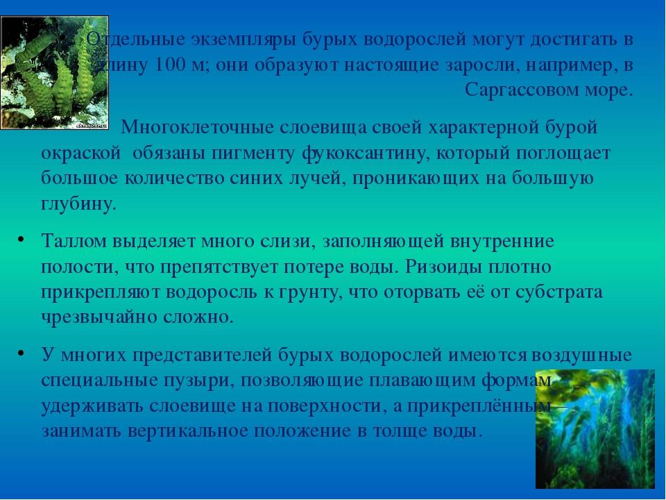 Отдельные экземпляры бурых водорослей могут достигать в длину 100 м; они обра...