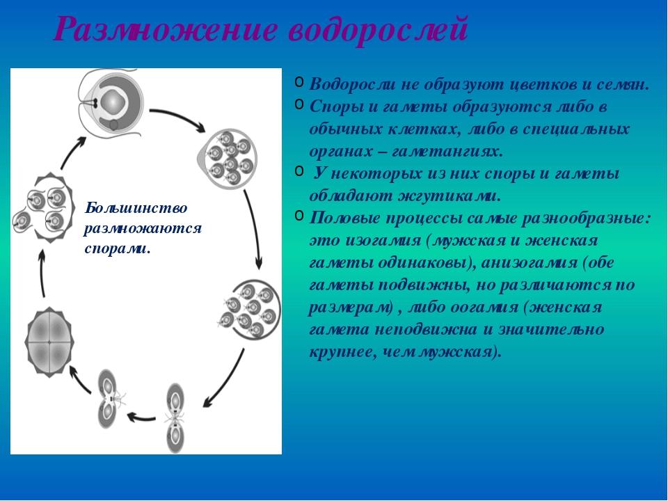 Размножение водорослей Водоросли не образуют цветков и семян. Споры и гаметы...