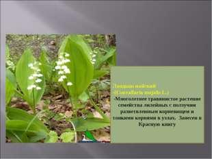 Ландыш майский -(Convallaria majalis L.) -Многолетнее травянистое растение се