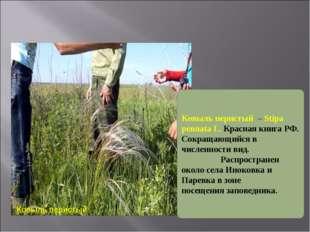 Ковыль перистый Ковыль перистый – Stipa pennata L. Красная книга РФ. Сокраща