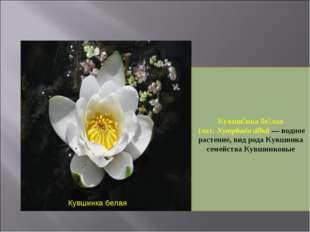 Кувшинка белая Кувши́нка бе́лая (лат. Nymphaéa álba)— водное растение, вид р