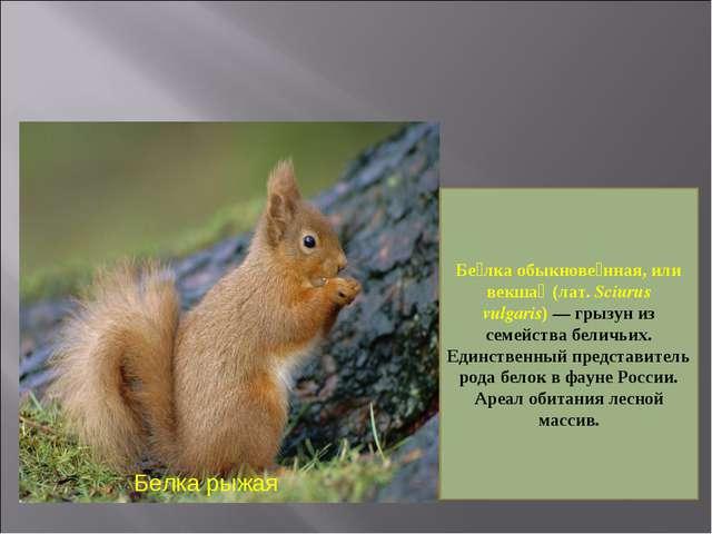 Белка рыжая Бе́лка обыкнове́нная, или векша́ (лат. Sciurus vulgaris)— грызун...