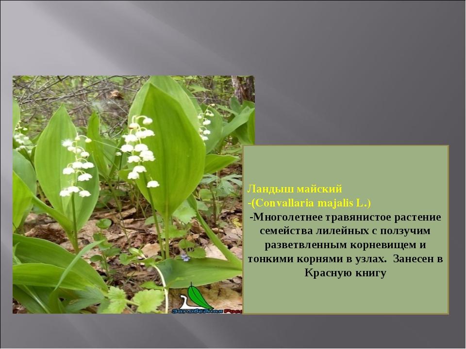 Ландыш майский -(Convallaria majalis L.) -Многолетнее травянистое растение се...