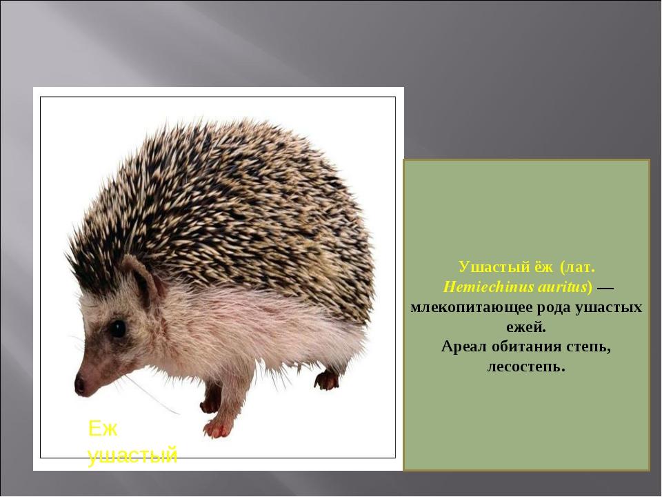 Еж ушастый Ушастый ёж (лат. Hemiechinus auritus)— млекопитающее рода ушаст...