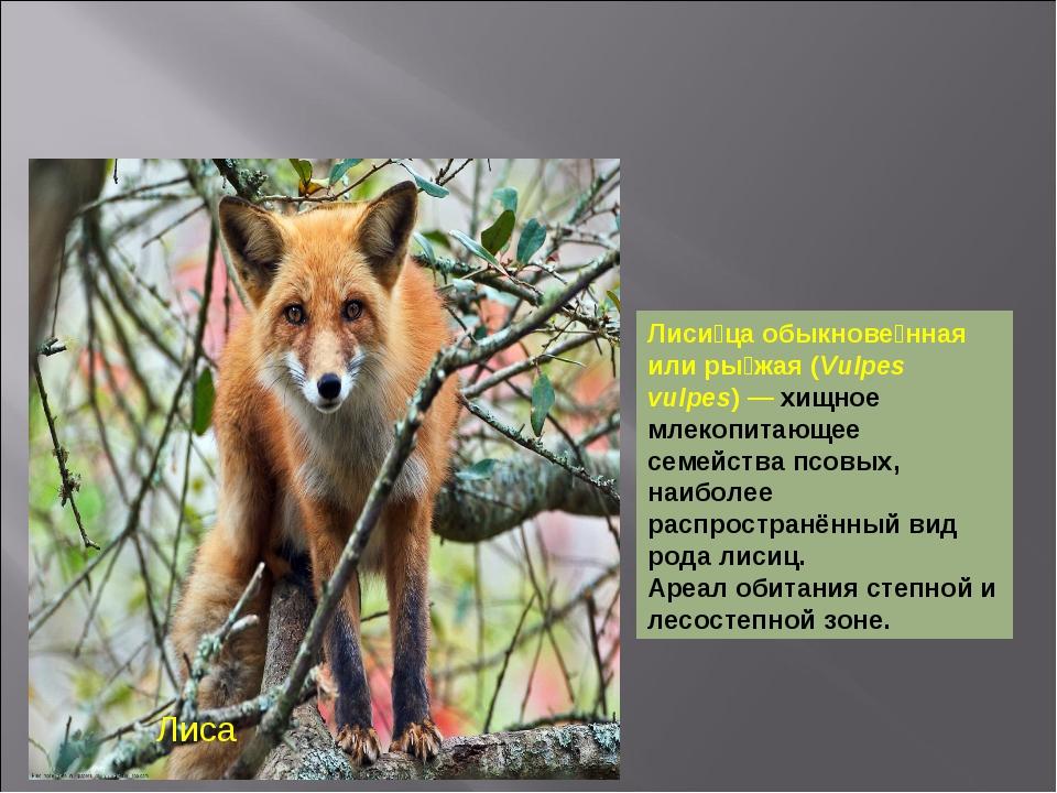 Лиса Лиси́ца обыкнове́нная или ры́жая (Vulpes vulpes)— хищное млекопитающее...
