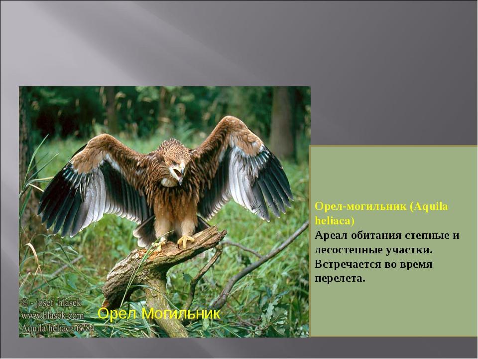 Орел Могильник Орел-могильник (Aquila heliaca) Ареал обитания степные и лесос...