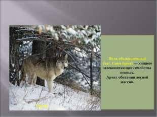 Волк Волк обыкновенный (лат.Canis lupus)— хищное млекопитающее семейства пс