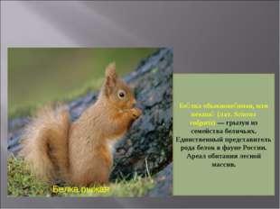Белка рыжая Бе́лка обыкнове́нная, или векша́ (лат. Sciurus vulgaris)— грызун