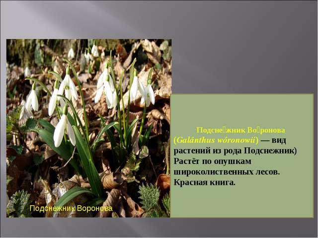 Подснежник Воронова Подсне́жник Во́ронова (Galánthus wóronowii) — вид растени...