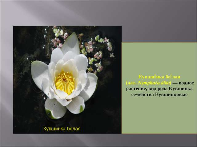 Кувшинка белая Кувши́нка бе́лая (лат. Nymphaéa álba)— водное растение, вид р...