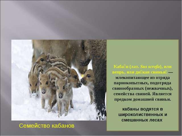Семейс Семейство кабанов Каба́н (лат. Sus scrofa), или вепрь, или ди́кая свин...