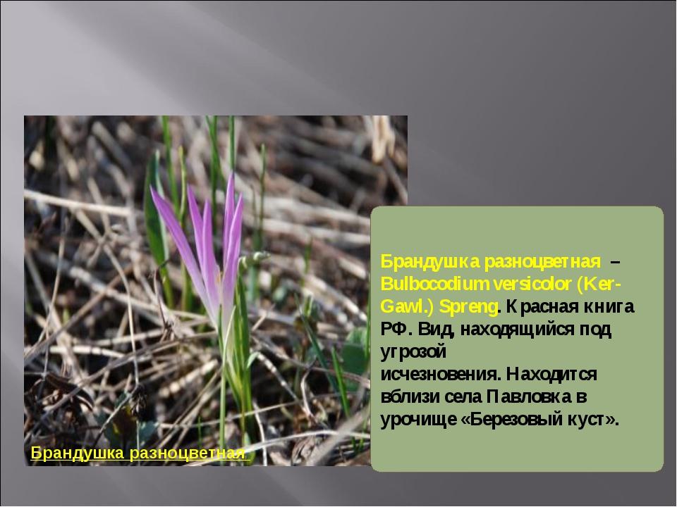 Брандушка разноцветная Брандушка разноцветная – Bulbocodium versicolor (Ker-...