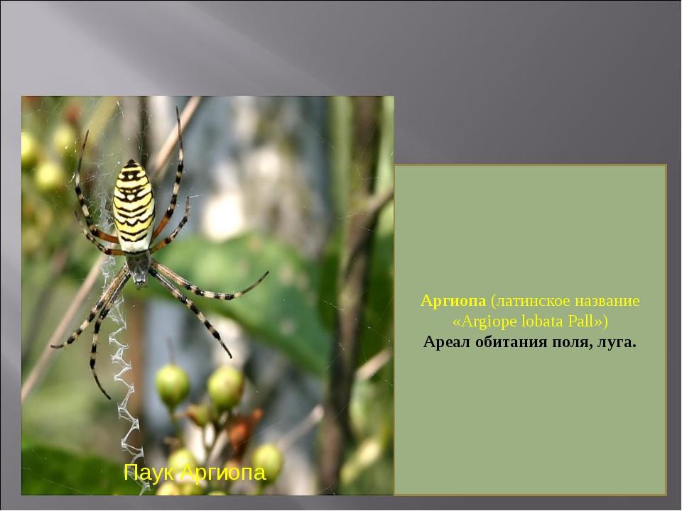 Паук Аргиопа Аргиопа (латинское название «Argiope lobata Pall») Ареал обитани...