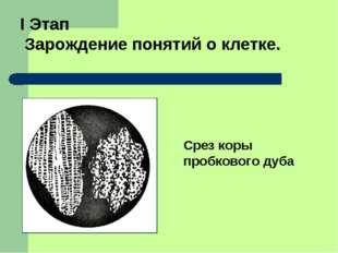 I Этап Зарождение понятий о клетке. Срез коры пробкового дуба