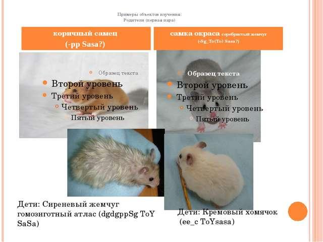 Примеры объектов изучения: Родители (первая пара) коричный самец (-pp Sasa?)...