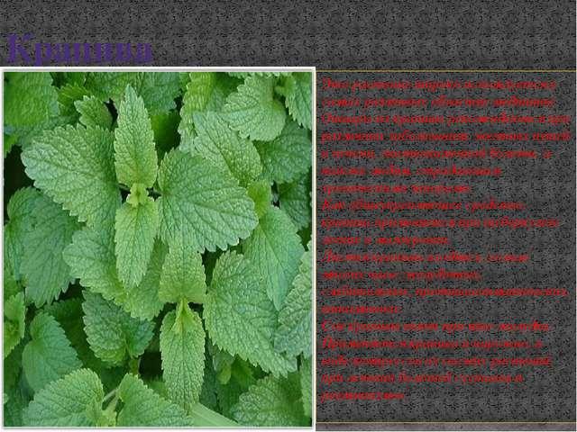 Крапива Это растение широко используется в самых различных областях медицины....