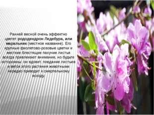 Ранней весной очень эффектно цвететрододендрон Ледебура, или маральник(мест