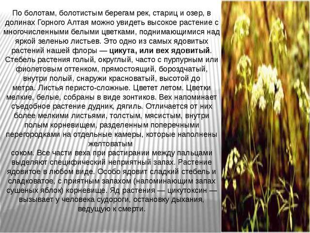 По болотам, болотистым берегам рек, стариц и озер, в долинах Горного Алтая мо...