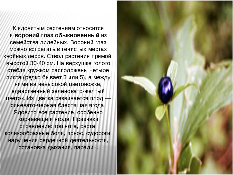 К ядовитым растениям относится ивороний глаз обыкновенныйиз семейства лилей...