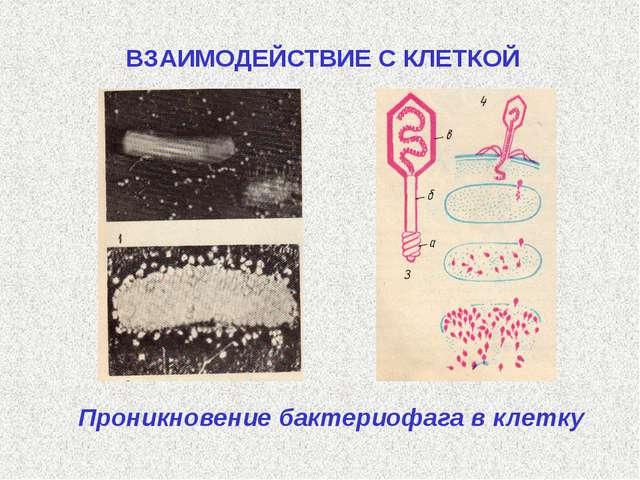 Проникновение бактериофага в клетку ВЗАИМОДЕЙСТВИЕ С КЛЕТКОЙ