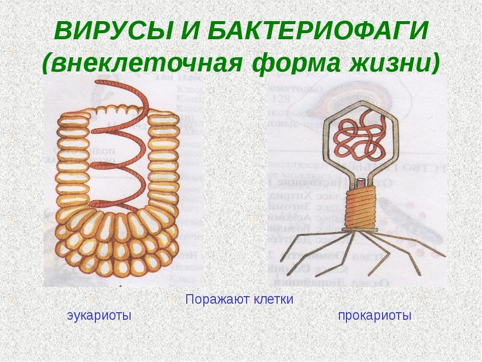 ВИРУСЫ И БАКТЕРИОФАГИ (внеклеточная форма жизни) Поражают клетки эукариоты...