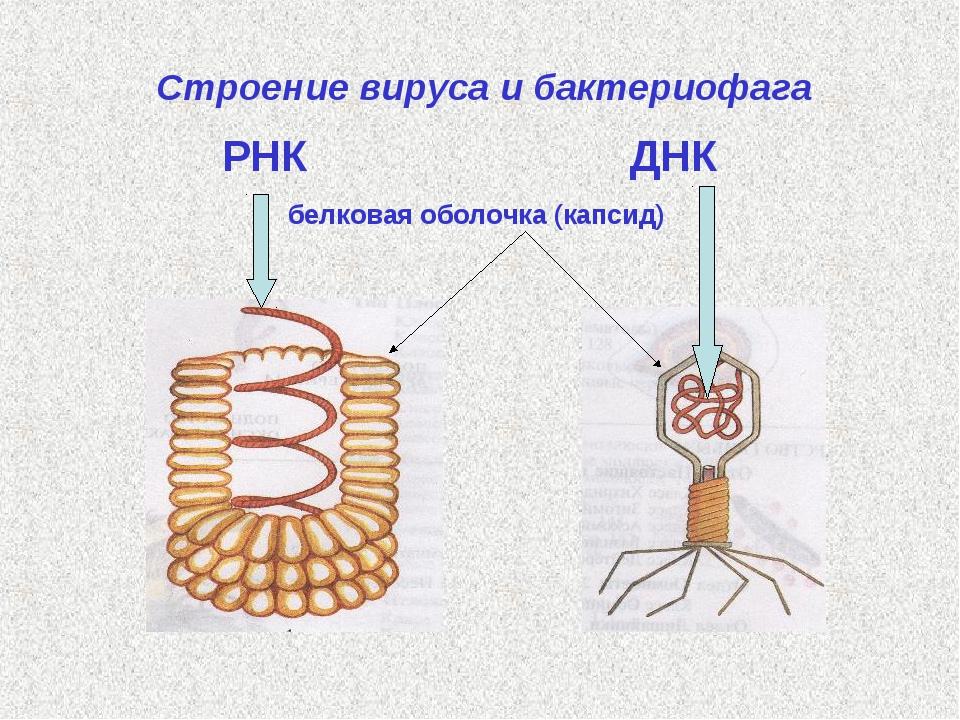 Строение вируса и бактериофага РНК  ДНК белковая оболочка (капсид)