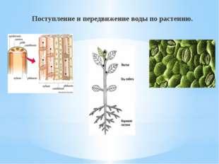 Поступление и передвижение воды по растению.