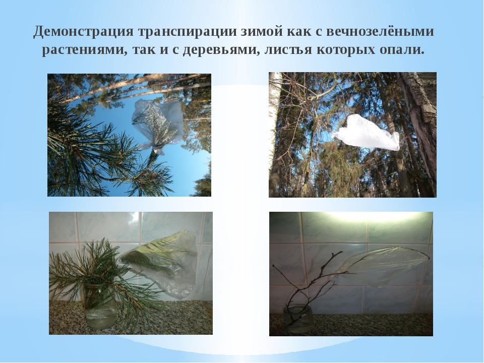 Демонстрация транспирации зимой как с вечнозелёными растениями, так и с дерев...