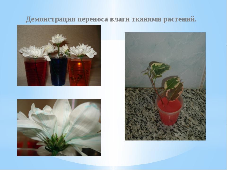 Демонстрация переноса влаги тканями растений.