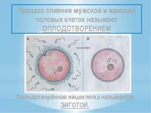 Процесс слияния мужской и женской половых клеток называют ОПЛОДОТВОРЕНИЕМ Опл