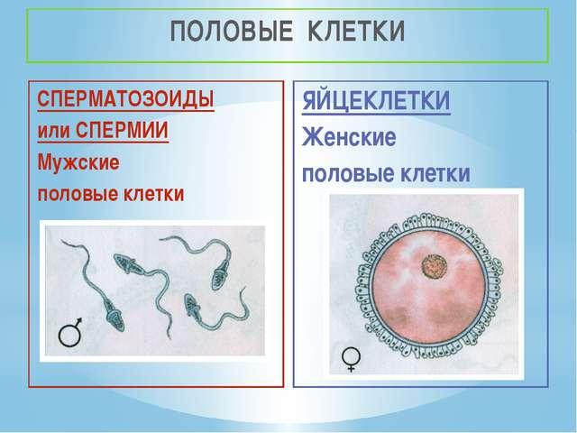 ПОЛОВЫЕ КЛЕТКИ СПЕРМАТОЗОИДЫ или СПЕРМИИ Мужские половые клетки ЯЙЦЕКЛЕТКИ Же...