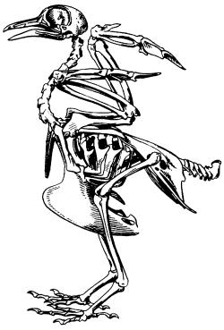 Скеклет голубя
