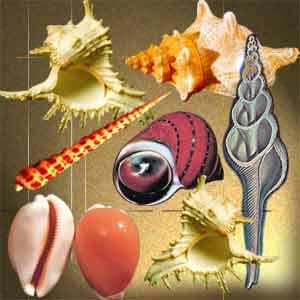 Раковины различных брюхоногих моллюсков