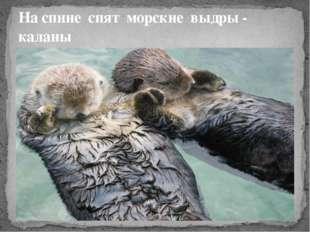 На спине спят морские выдры - каланы